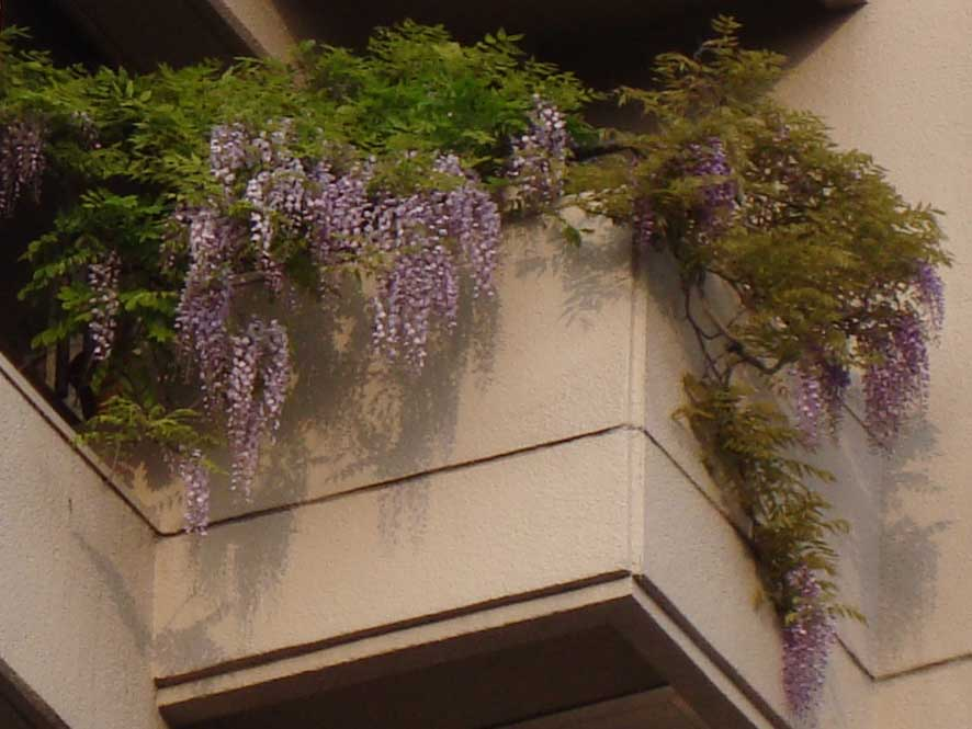 Wisteria in apartment balcony, Harajuku
