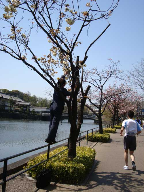 Salary man taking keitai sakura photo at Imperial Palace