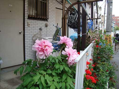 Giant peonies, Nakano