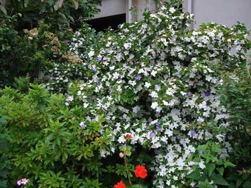 """American Jasmine"" in May, in front of apartment building"