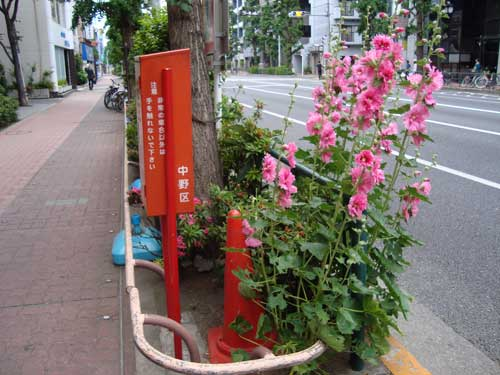 Hollyhocks on Nakano sidewalk