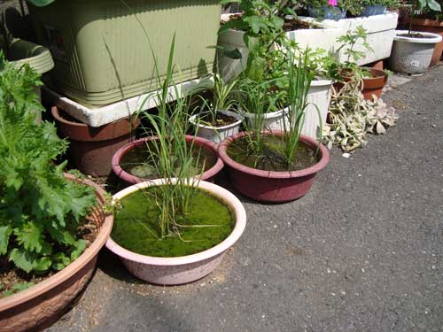 Rice growing in small bowls