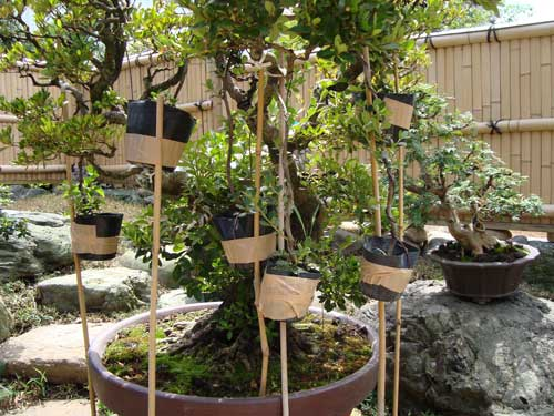 Grafting at bonsai museum