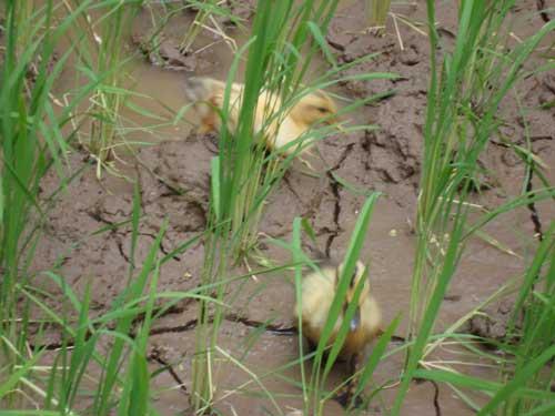 Ginza Farm ducklings