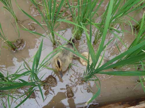Ginza Farm ducks
