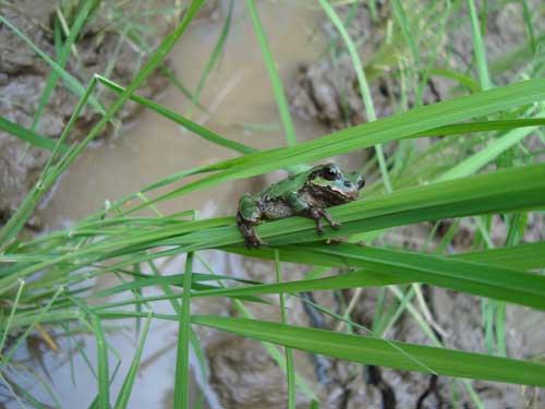 Ginza Farm frog