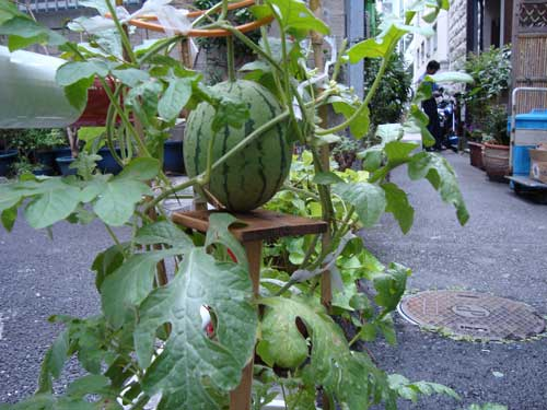 Mini-watermelon on wooden stand in Ginza
