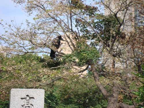 Aoyama cemetery crow