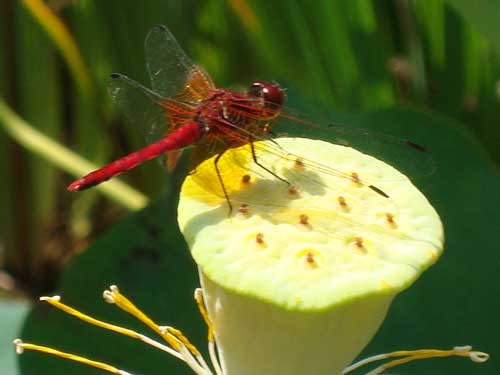 Red dragonfly, Hasedera Temple, Kamakura