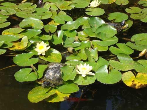 Turtles, Hasedera Temple, Kamakura