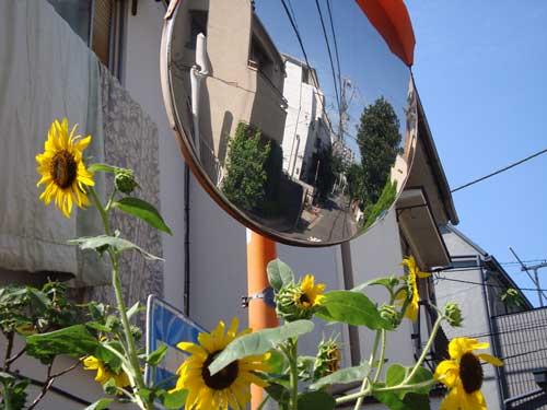 Sunflower nakano