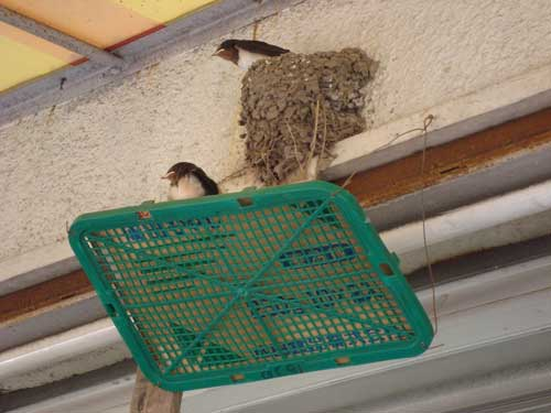 Swallows, convenience store, Kamakura