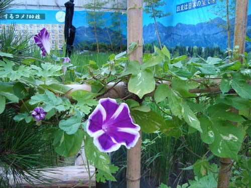 Morning glory at Ginza Farm