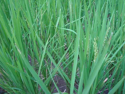Ginza Farm rice