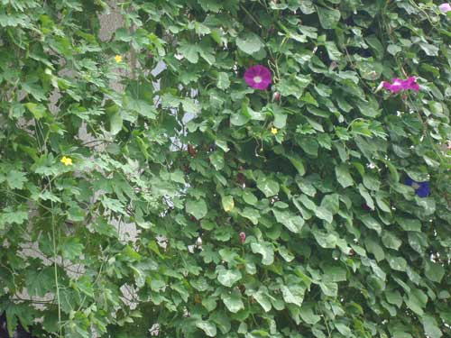 Residential Green Wall morning glory