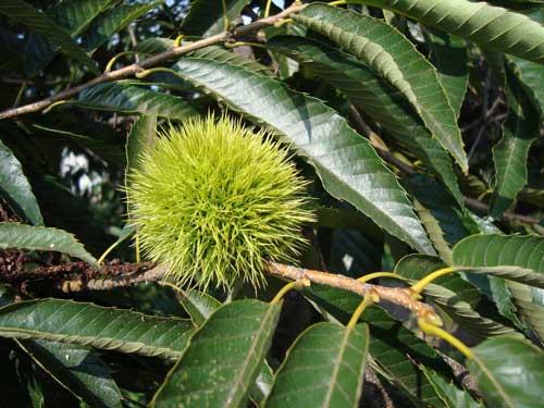 Obuse chestnut
