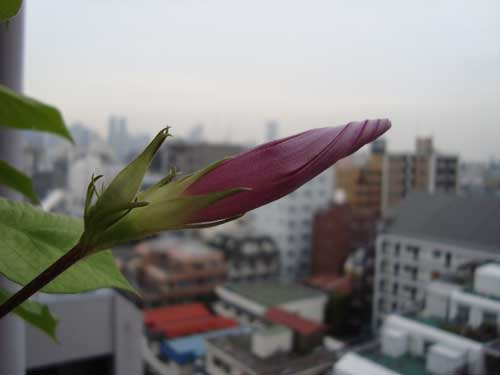 Okinawa morning glory bud