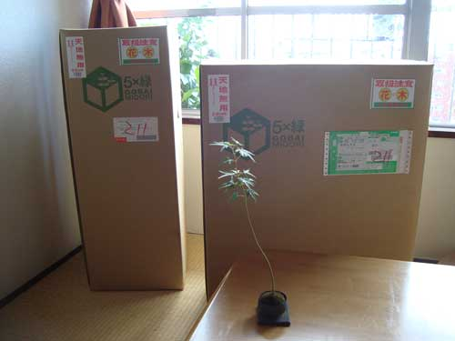 5bai Midori in boxes at home