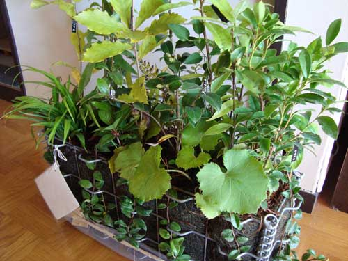 5bai Midori plants arrive during typhoon