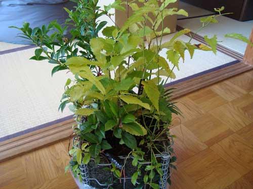 5bai Midori plants arrive during typhoon