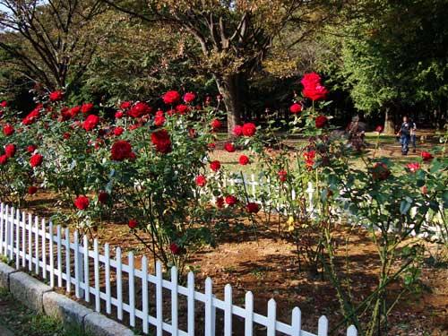 Fall roses in Yoyogi Park