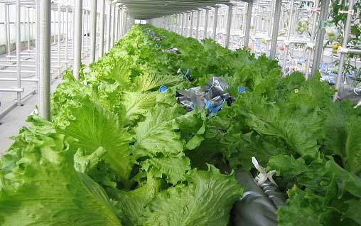Mebiol Hymec lettuce