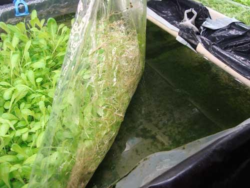 Mebiol lettuce