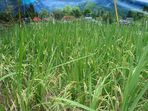 Ginza Farm's rice just before harvest