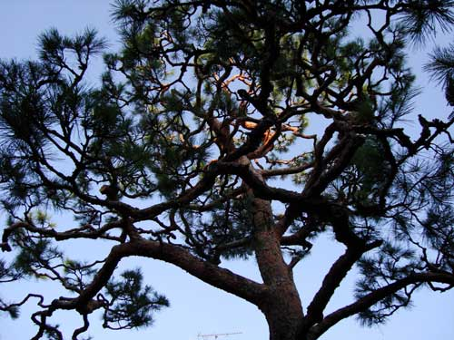 Pruned red pine in residential garden, preparing for New Year
