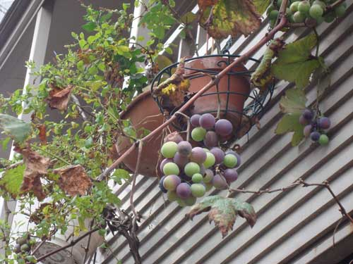 Neighbor's grapes