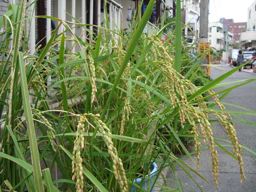 Neighborhood rice