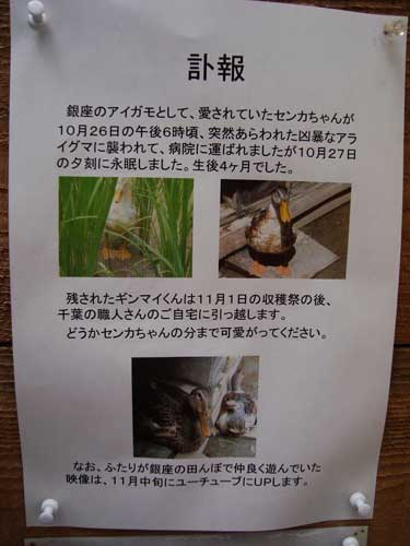 Sign explaining raccoon attack that killed one duck at Ginza Farm