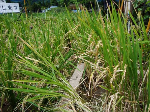 Ginza Farm Rice Harvest