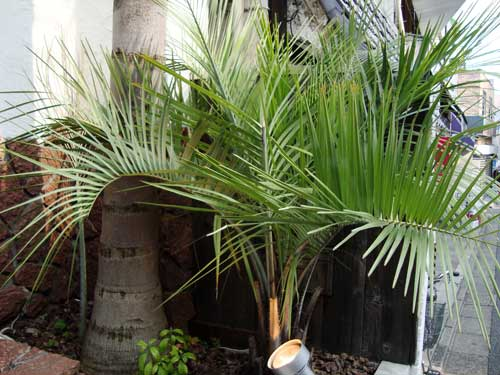 Exotic palm trees in Shimokitazawa