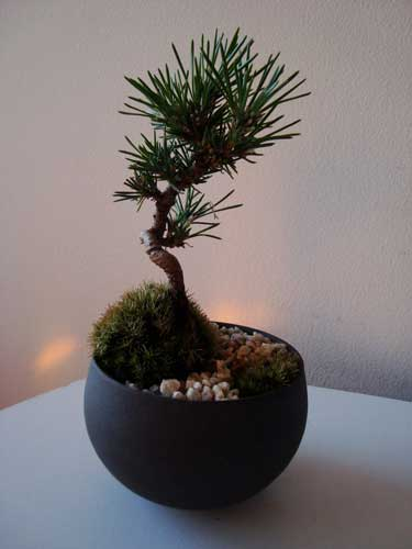 black pine bonsai from Kobayashi Kenji Sensei's class at Sinajina