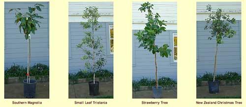 Adopt a San Francisco street tree for Christmas program