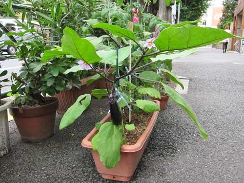 koenji_sidewalk_eggplant