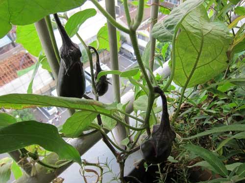 Баклажаны для выращивания на балконе 53