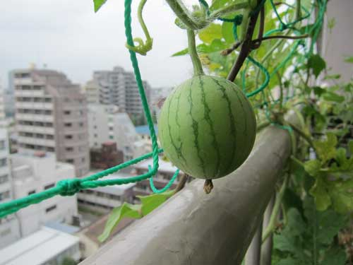 More baby watermelon on balcony tokyo green space.