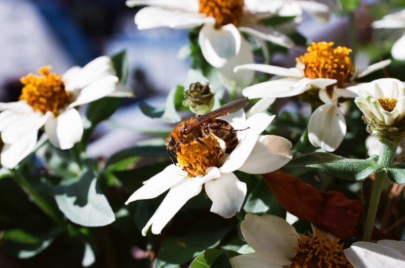 honeybee_white_daisy_balcony_nakano