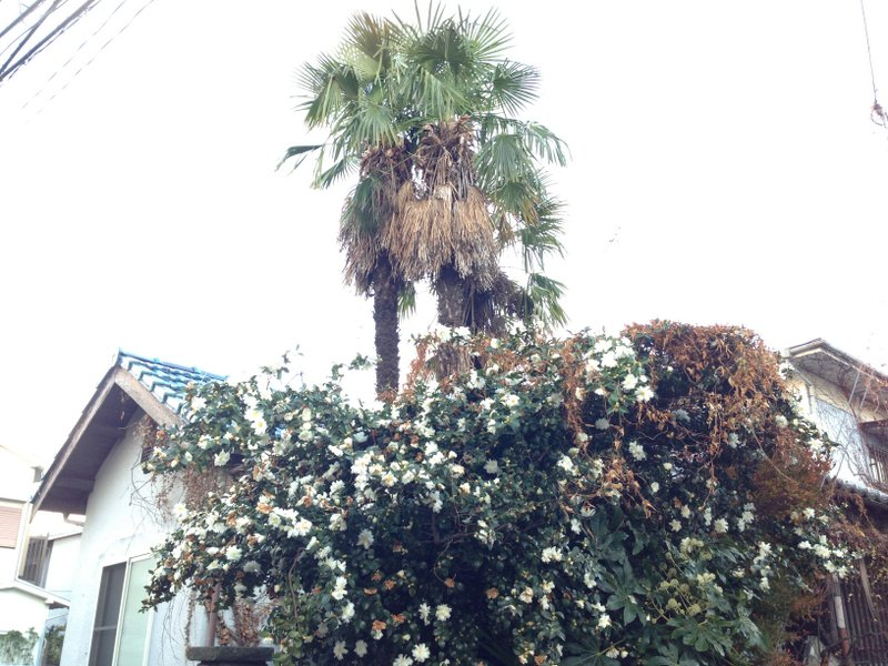 palm_camellia_koenji