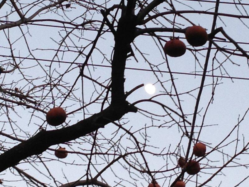 persimmon_moon_nakano