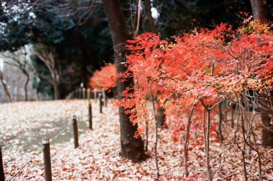 fall_leaves_higashi_koenji_red
