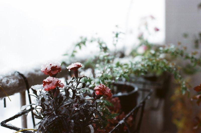carnations_snow