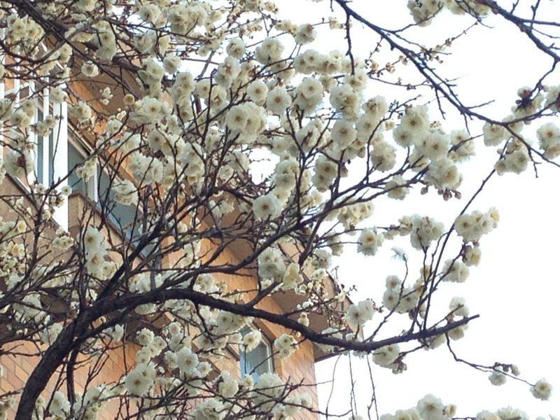 plum_blossoms_nakano