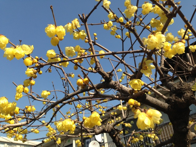 yellow_flower_tree_nakano_midwinter