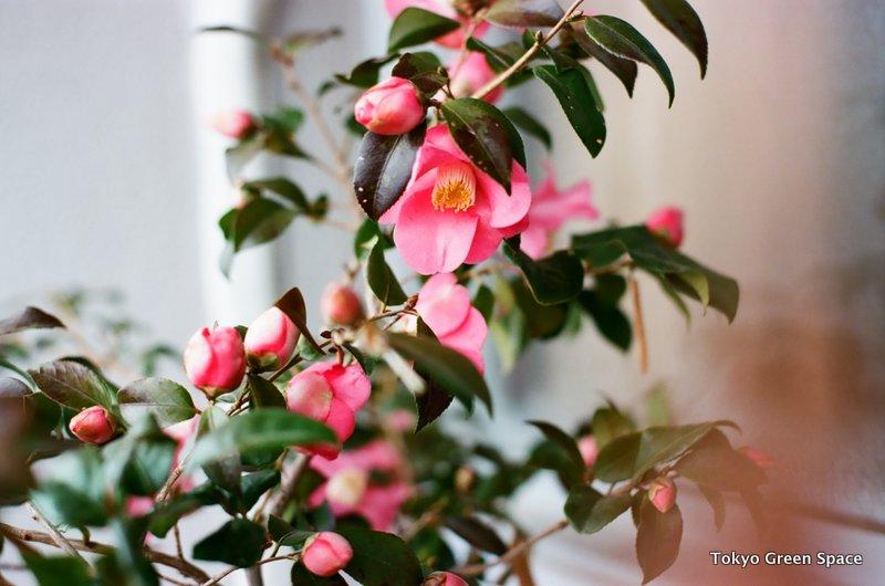 camellia_balcony_closeup_nakano_home