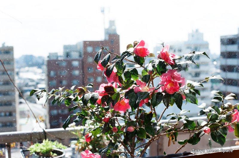 camellia_balcony_snow_nakano_home