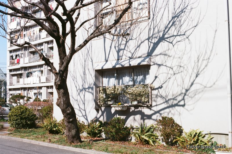 cherry_tree_shadow_nakano_centralmansion