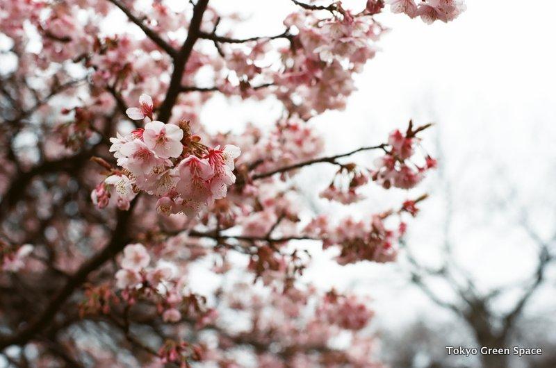 cherrytree_shinjukugyoen
